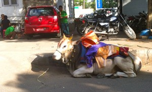 pongal cow
