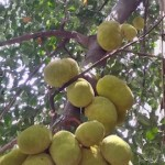 Bountiful jackfruit tree in Alwarpet