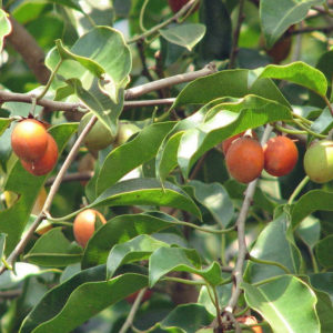 Spanish cherry picture for bits