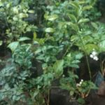 Small nursery selling flowering plants; at Mylapore