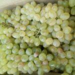 Organic green grapes; at Mylapore