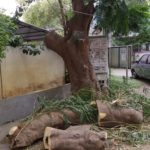 Jeth Nagar residents aghast at crude pruning of avenue trees: local association initiated action