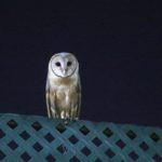 Barn owl spotted on St. Mary's Road