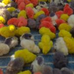 Indigenous chicks available for sale in R. A. Puram
