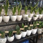 Indoor snake plants for sale at this Alwarpet store