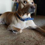 Dog missing from Mandaveli residence; owner seeks help