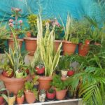 This resident of Mylapore grows varieties of succulents and cacti at her home
