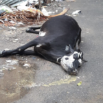 Cow found dead in Abiramapuram street