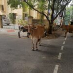 With new garbage clearance system in place, roaming cattle hardly find stuff to munch on